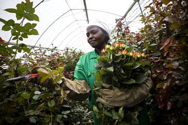 Floricoltura a Naivasha