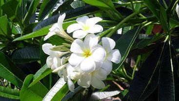 """Plumeria obtusa, meglio conosciuta come """"Fiore del Paradiso""""."""