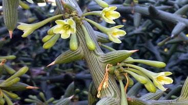Adenia globosa - Mpaga