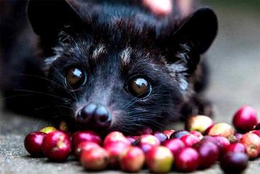 """Il """"Luwak"""", l'animaletto che ingerisce le bacche di caffè """"producendo"""" il caffè più caro del mondo."""