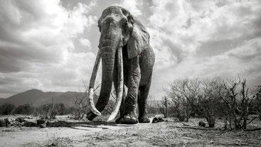 Elefantessa Regina - Tsavo National Park, Kenya