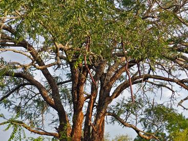 Cassia abbreviata - Sjambok pod - Cassia a lunga coda