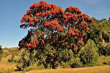Hagenia abyssinica - African redwood