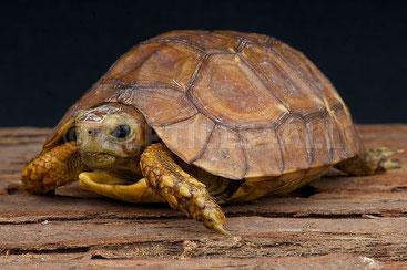 Tartaruga a cerniera di Bell (Kinixys belliana)