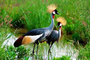 Gru coronata grigia - Grey Crowned Crane - Balearica regulorum