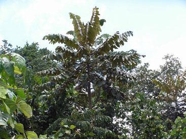 Polyscias kikuyuensis - Parasol Tree