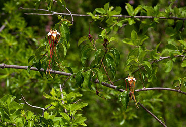Strophanthus petersianus - Sand Forest Poison Rope