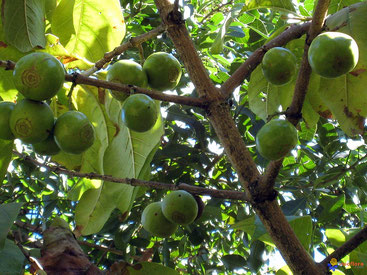 Vangueria madagascariensis - Tamarindo spagnolo - Voa Vanga