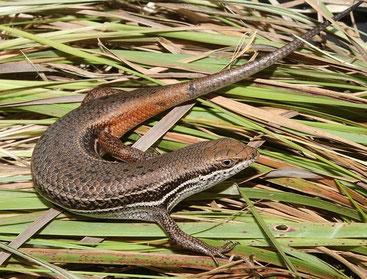 Scinco di Bayao (Cordylus tropidosternum)