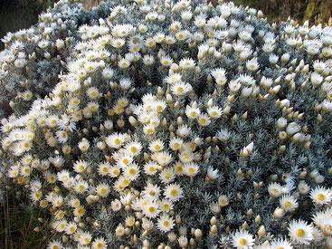 Helichrysum brownei - Elicriso - Imphepho
