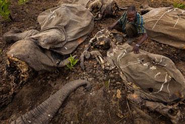 I resti di alcuni elefanti massacrati dai bracconieri
