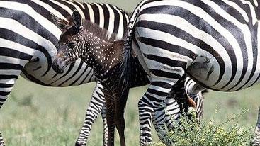 Zebra a pois fotografata nel Masai Mara