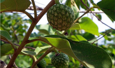 Annona Senegalensis  - Wild Custard Apple