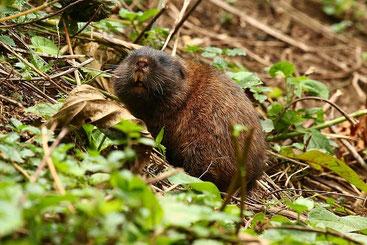 Ratto talpa dell'Africa nord orientale - Northeast African mole-rat (Tachyoryctes splendens)