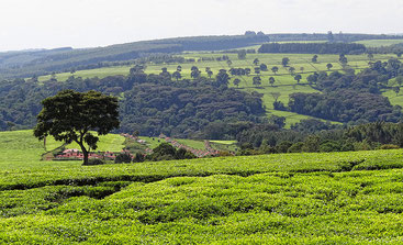 Coltivazioni di tè nei pressi di Kericho