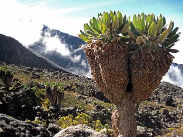 Dendrosenecio kilimanjari sul Monte Kilimanjaro (Tanzania)