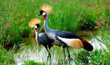 Avifauna del Kenya - Gru coronata grigia - Grey Crowned Crane - (Balearica regulorum)