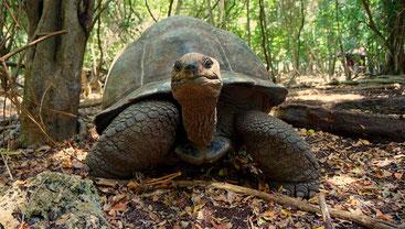 Tartaruga gigante di Aldabra-Prison Island Zanzibar