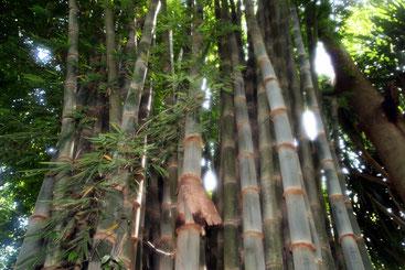 Dendrocalamus giganteus -Bambù - Bamboo