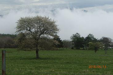 牧場のヤマナシの木(5月)