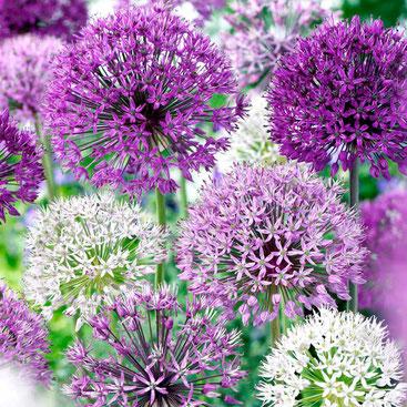 Allium Blüte, gesunde Lauchgewächse