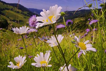 Blühende Bergwiese im Münstertal