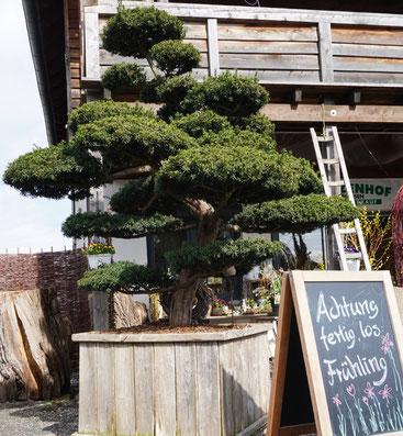 Formbaum Bonsai