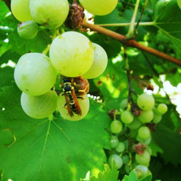 Frühreif noch, aber schon zuckersüßes Futter für Insekten: die Nasch-Trauben in unserem Garten. Foto: Klaus Kochendörfer