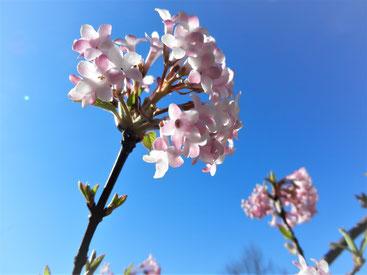 Viburnum bodnantense 'Dawn' -   Winter- Schneeball