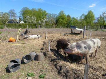 Lotta, Horst und die anderen Bunten Bentheimer Schweine genießen im Frühjahr die Sonne. Die Knirpsschweinchen werden einmal leckeres Schweinefleisch. Sie können überall wühlen und suhlen, wie sie es wollen, und es sich gut gehen lassen. Sie sind zufrieden