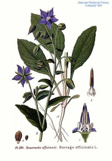 Von Amédée Masclef - Atlas des plantes de France. 1891, Gemeinfrei, https://commons.wikimedia.org/w/index.php?curid=5767273