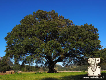 The camphor tree or camphor tree (Cinnamomum camphora)