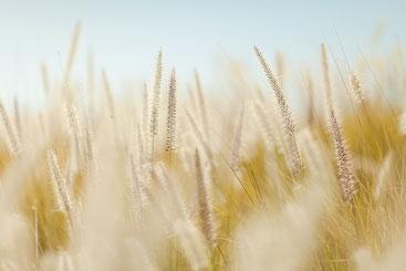 Gräser, die Wind wiegen, vor hellem sanften Hintergrund.