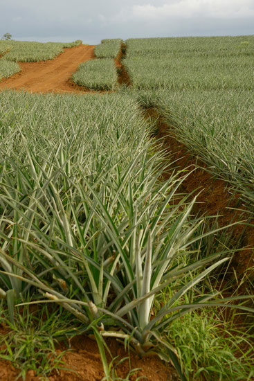 Ananas Plantage der Familie Dähler