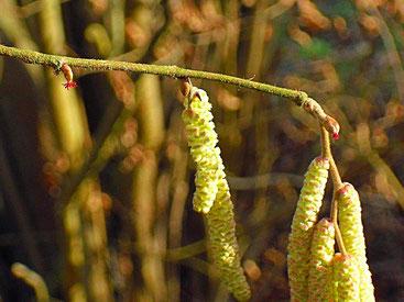 Haselnuss, männliche und weibliche Blüten