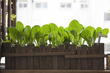 再生栽培後1ヶ月経った小松菜たち