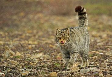 Wildkatze in den Kantabrischen Bergen