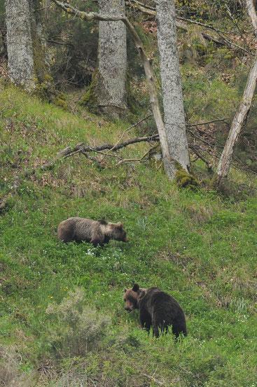 Braunbären in den Kantabrischen Bergen