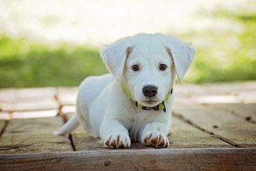 Weißer Hundewelpe blickt in die Kamera