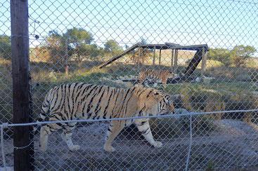 ライオン以外にもトラやカラカルなどがいます