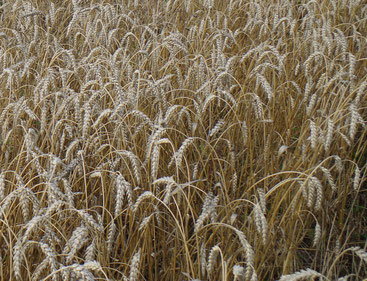 Aus einem Korn, das keimt, entstehen viele Körner!