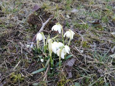 """Nach dem Winter kündigen die Märzenbecher das Frühjahr an - auch ein """"Mut-Zeichen""""."""