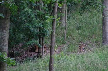 Hier ist eine Rehgeiß (links im Bild) mit ihrem Kitz unterwegs.