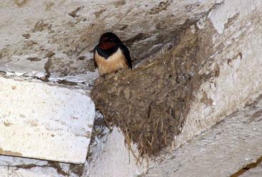 Rauchschwalbe in ihrem Nest unter der Stalldecke