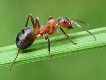 comment se debarrasser des nids de fourmis