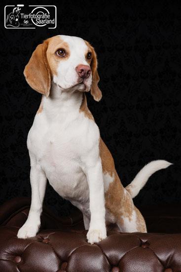Welpen Beagle clipart - Hund cliparts png herunterladen - 503*717 -  Kostenlos transparent Menschliches Verhalten png Herunterladen.