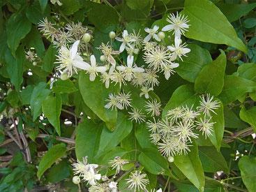 Wilde Waldrebe (Clematis vitalba); so wird sie einmal blühen
