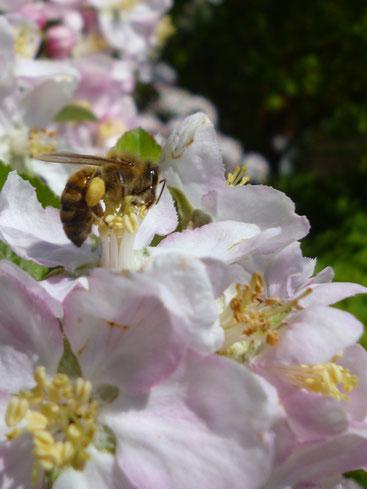 Biene bestäubt Streuobst Apfel, Harzer Gebrigsimkerei- Typisch Harz