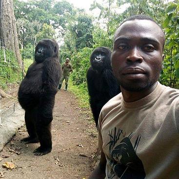 I gorilla orfani Ndakazi e Ndeze all'interno del centro Senkwekwe nel Parco Nazionale Virunga