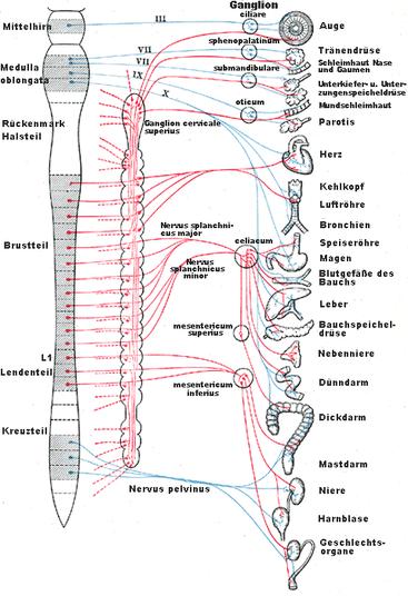 Das vegetative Nervensystem Rot: Nerven des Sympathikus, blau: Nerven des Parasympathikus.